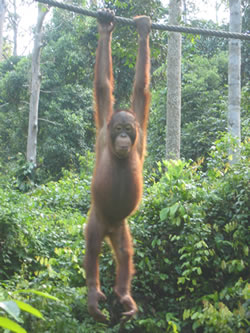Orang'utan at Sepilok Nature Resort