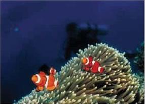 Sipadan clownfish