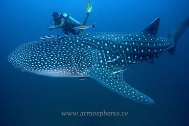 Whale Shark and Diver. Photo by Jez Tryner