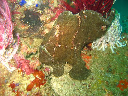 Frogfish - Komodo scuba diving
