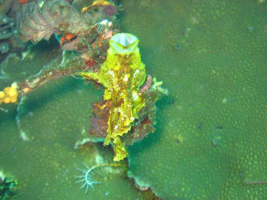 Burping leaffish - Komodo scuba diving