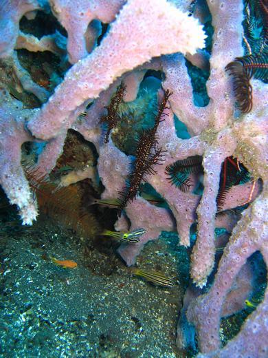 Ornate ghostpipefish - Komodo scuba diving