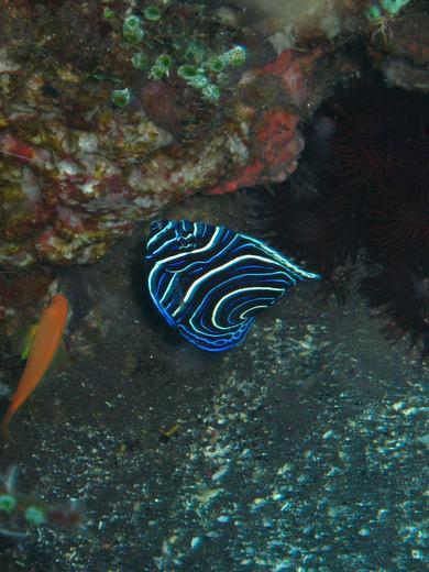 Juvenile emperor angelfiah - Komodo scuba diving