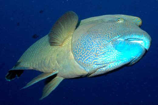 Napoleon wrasse gets friendly, Blue Hole, Palau
