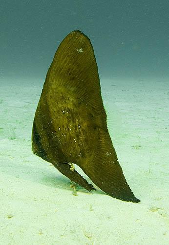 Leaf Fish, Palau Weh