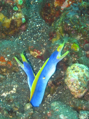 Blue Ribbon Eels