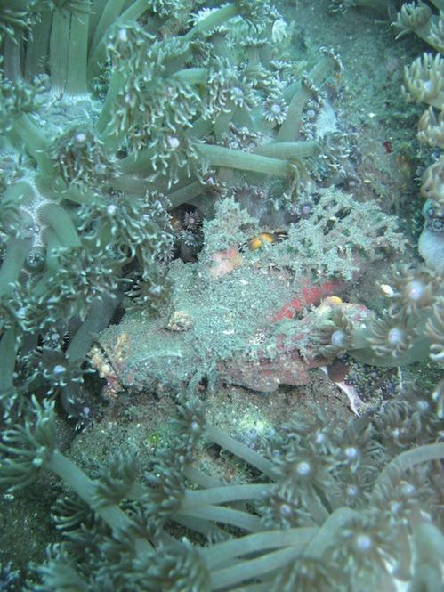 lembeh-strait-diving-nad-14