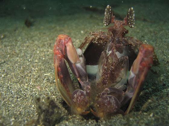 Spearing Mantis Shrimp, Bangka