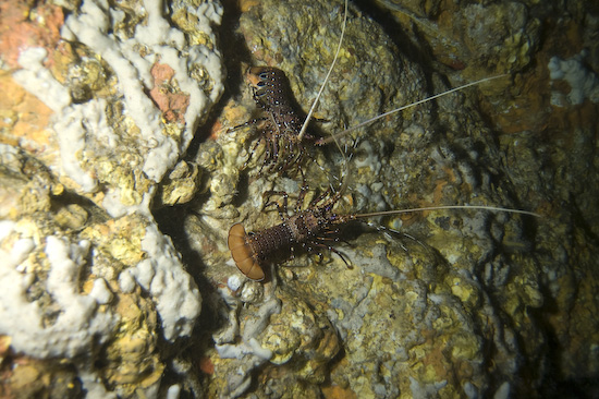 Crayfish in the tunnel of Crayfish Cave