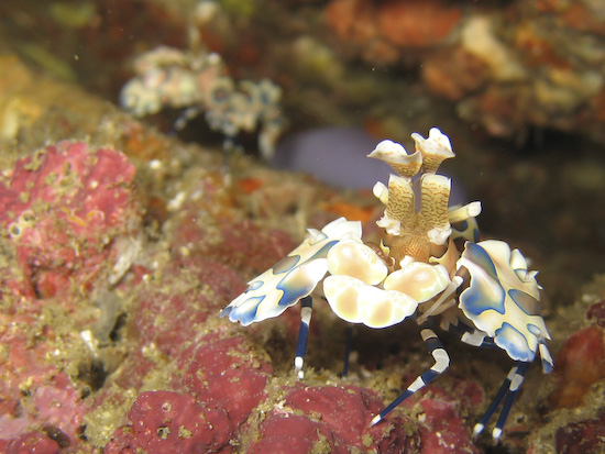 harlequin-shrimp-12