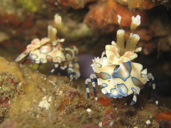 harlequin-shrimp-6