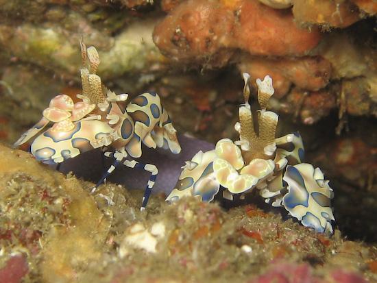 harlequin-shrimp