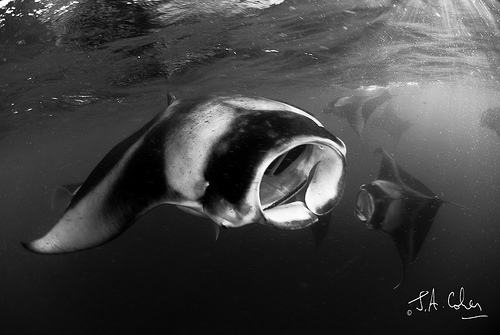 Got The Shot: Maldives Manta Rays – Julian Cohen