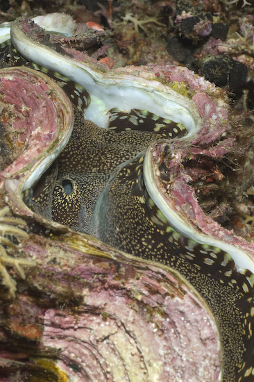 Giant Clam on Nusa Laut nightdive