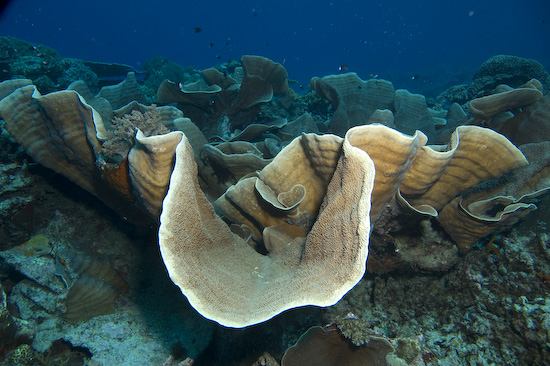 Giant Plate Coral, Nusa Laut