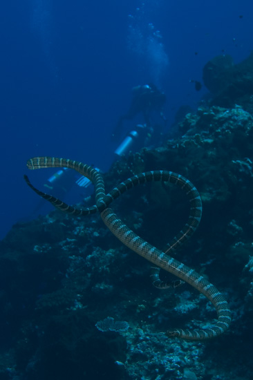 Sea Snakes Over Gunung Api's Corals