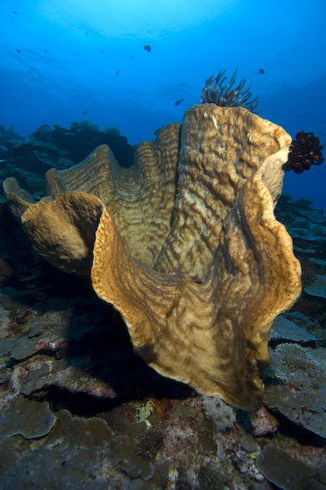 Nusa Laut Coral