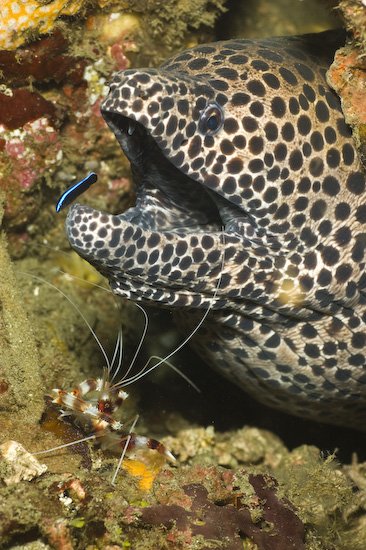 Honeycomb Moray, Cleaner Shrimp And Cleaner Fish