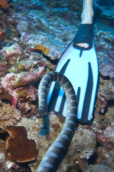 Sea Snake On Cedric's Fin