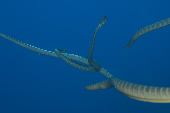 Four Sea Snakes Writhing Together In The Blue