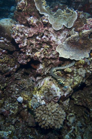 Sea Snake Amongst The Coral, Manuk, Banda Sea