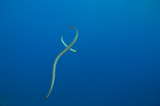Two Seasnakes At Manuk, Banda Sea