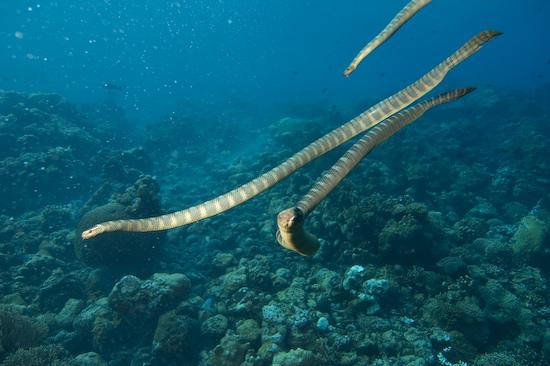 A Group Of Sea Snakes at Manuk, Banda Sea