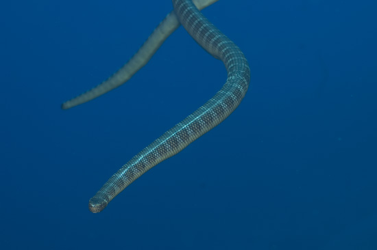 Sea Snakes Coming In from Above