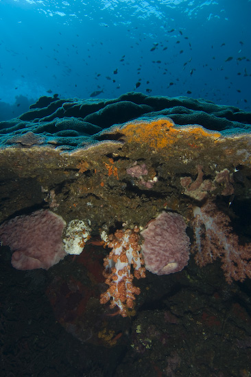 Coral at Manuk, Banda Sea