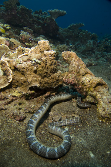 Sea Snake at Manuk, Banda Sea
