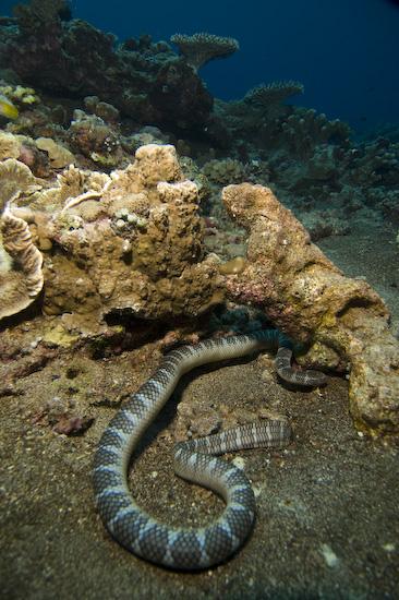 Sea Snake at Manuk, Banda Sea