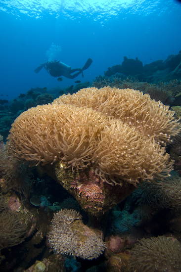 Sponge Corals at Manuk, Banda Sea