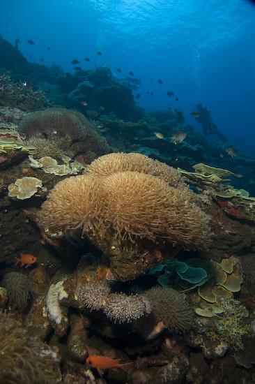 Sponge Corals at Manuk, Banda Sea