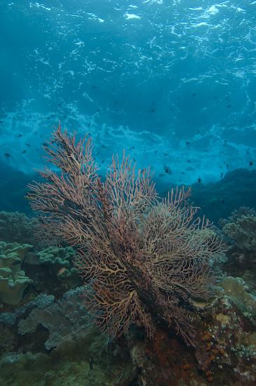 Fan Coral And Sea Surge at Manuk, Banda Sea