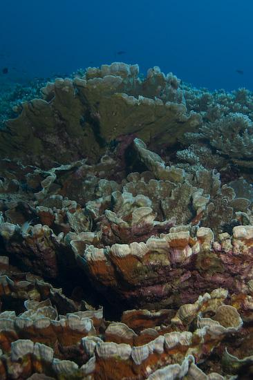 Banda Islands coral