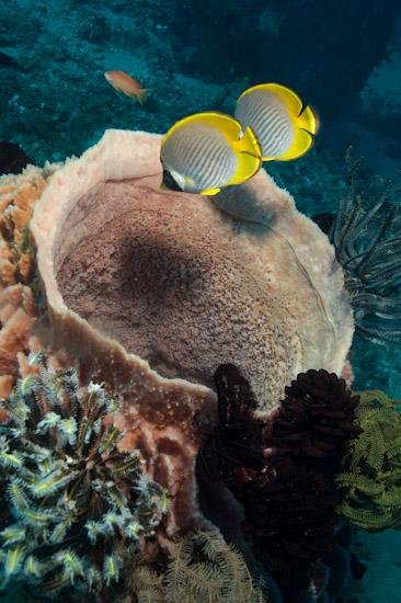 Angel Fish and Barrel Sponge, Tulamben, Bali