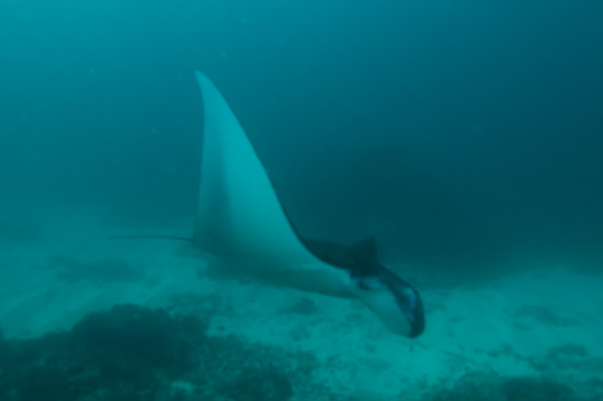 Manta Ray at Manta Point, Nusa Lembongan, Bali