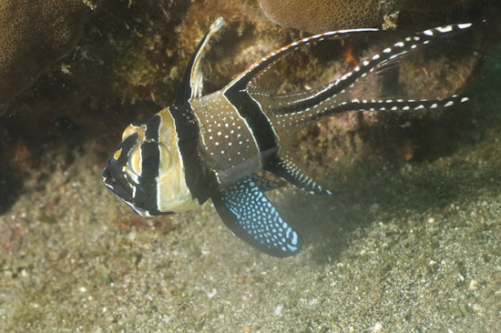 Banggai Cardinal Fish, Secret Bay, Bali