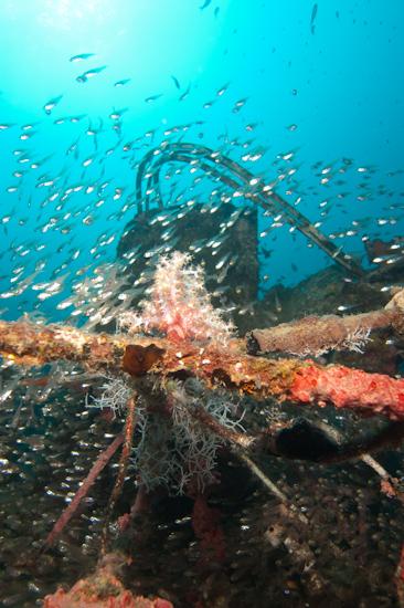 Glassfish on the Kuda Giri Wreck, Maldives