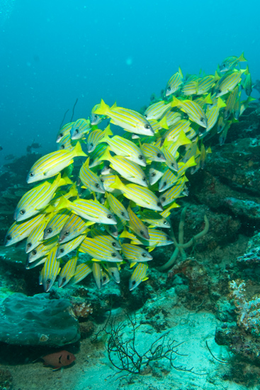 Yellow Snapper, Maldives