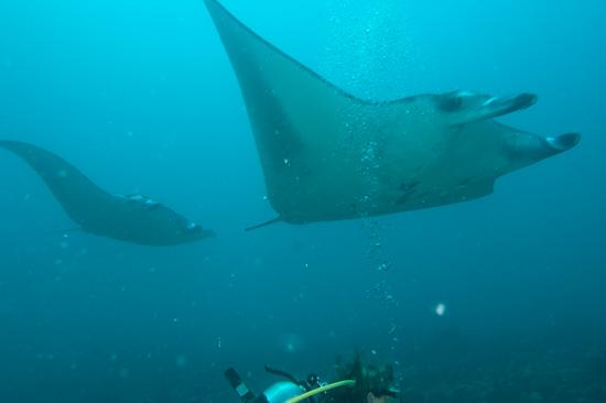 Incoming Manta Rays, Lankan, Maldives