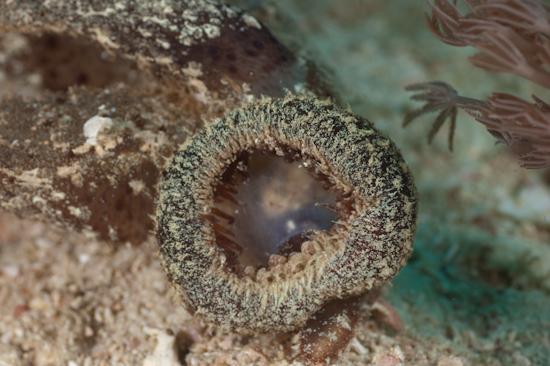 Melibe Nudibranch