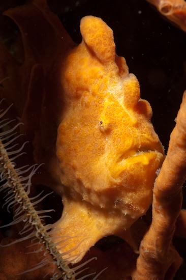 Orange Frogfish
