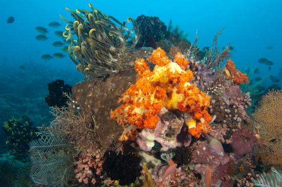 Reef Scene, Tatawa Besar