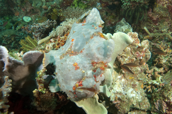 Giant Frogfish, Cannibal Rock