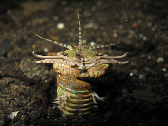 Bobbitt Worm, Torpedo Alley Night Dive