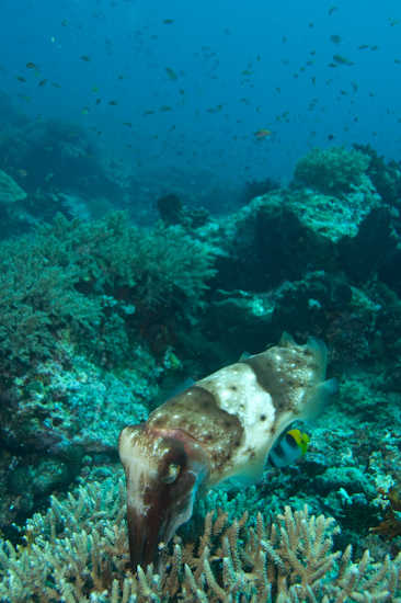 Cuttlefish with Eggs, Castle Rock