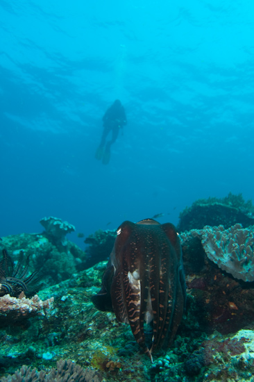 Cuttlefish And Diver, Castle Rock