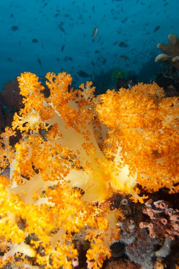 Soft Coral, Tatawa Besar © Chris Mitchell