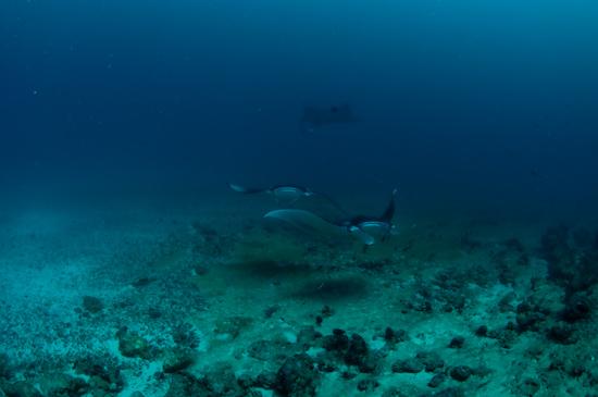 Maldives Manta Rays Donkalo 1